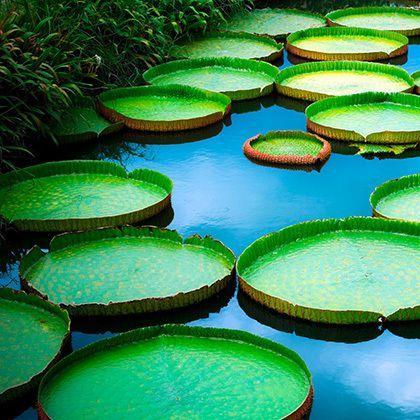 huge floating lotus giant amazon water lily