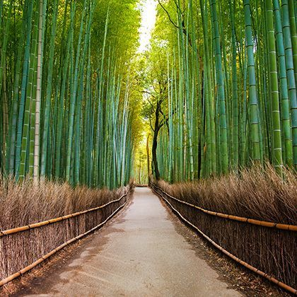 bamboo forest divided by path in kyoto, japan: фотография